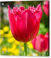 Red Tulips On The Green Background Acrylic Print