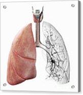 Respiratory System Acrylic Print