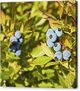 Ripe Maine Low Bush Wild Blueberries Acrylic Print