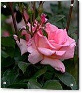 Rose Of Summer Acrylic Print