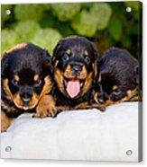 3 Rottweiler Puppies Acrylic Print