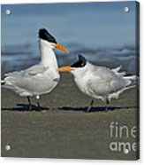 Royal Terns Acrylic Print