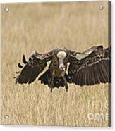 Ruppells Vulture Acrylic Print