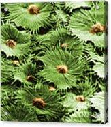 Russian Silverberry Leaf Sem Acrylic Print