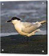 Sandwich Tern Acrylic Print