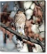 Sharp-shinned Hawk 2 Acrylic Print