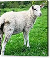 Sheep In Field Acrylic Print