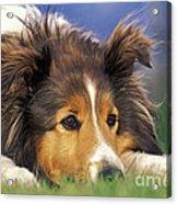 Shetland Sheepdog Acrylic Print