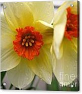 Small-cupped Daffodil Named Barrett Browning Acrylic Print
