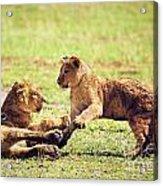Small Lion Cubs Playing. Tanzania Acrylic Print
