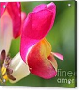 Snapdragon Named Floral Showers Red And Yellow Bicolour Acrylic Print