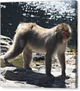 Snow Monkey Acrylic Print