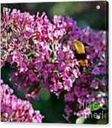 Snowberry Clearwing Hummingbird Moth Acrylic Print