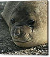 Southern Elephant Seal  Acrylic Print