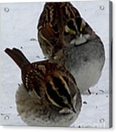 3 Sparrows Acrylic Print
