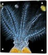 Stephanoceros Fimbriatus Rotifer Acrylic Print