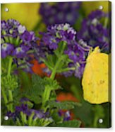 Sulphur Butterfly In The Phoebis Family Acrylic Print