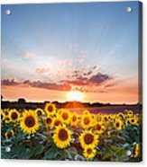 Sunflower Summer Sunset Landscape With Blue Skies Acrylic Print