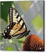 Swallowtail On Coneflower Acrylic Print