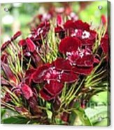 Sweet William Named Sooty Acrylic Print