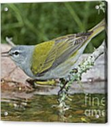 Tennessee Warbler Acrylic Print