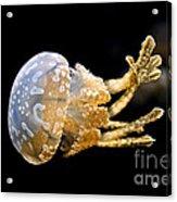 The Spotted Jelly Or Lagoon Jelly Mastigias Papua Acrylic Print