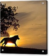 Timber Wolf Canis Lupus Acrylic Print