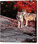 Timber Wolves Under A Red Maple Tree - Pano Acrylic Print
