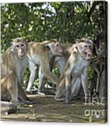 Toque Macaques Acrylic Print