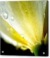 Tulip With Raindrops Acrylic Print