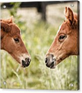 Two Colts Acrylic Print