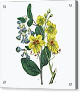 Victorian Botanical Illustration Of Acrylic Print
