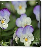 Viola Named Sorbet Lemon Blueberry Swirl Acrylic Print by J McCombie