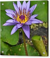 Water Lily  9 Acrylic Print