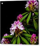 West Virginia State Flower Acrylic Print