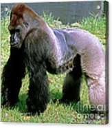 Western Lowland Gorilla Silverback Acrylic Print