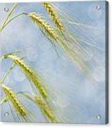 Wheat Acrylic Print
