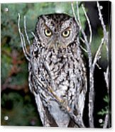 Whiskered Screech Owl Acrylic Print