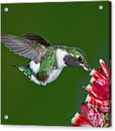 White-bellied Woodstar Acrylic Print