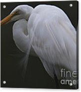 White Heron Portrait Acrylic Print