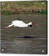 White Ibis In Flight Acrylic Print