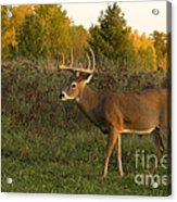 White-tailed Buck In Fall Acrylic Print