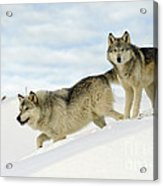 Wolves In Winter Acrylic Print