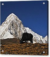 Yaks Grazing In A Himalayan Valley Acrylic Print
