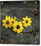 3 Yellow Flowers Acrylic Print by Aged Pixel