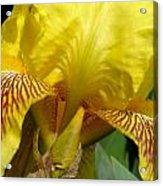 Yellow Iris Acrylic Print