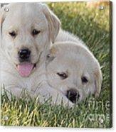 Yellow Labrador Retriever Puppies Acrylic Print