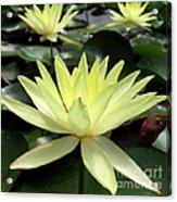 3 Yellow Lotus Acrylic Print