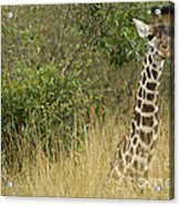 Young Giraffe In Kenya Acrylic Print