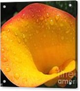 Zantedeschia Named Flame Acrylic Print
